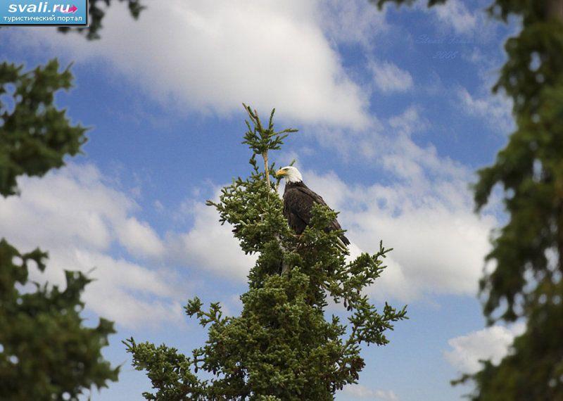 Орёл провинция юкон канада